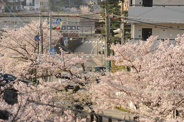 Les dernières photos cerisiers en fleur