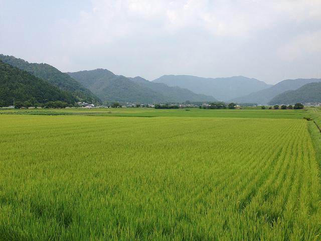 shinmei rizière