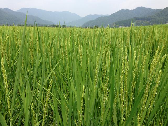 fleur de riz