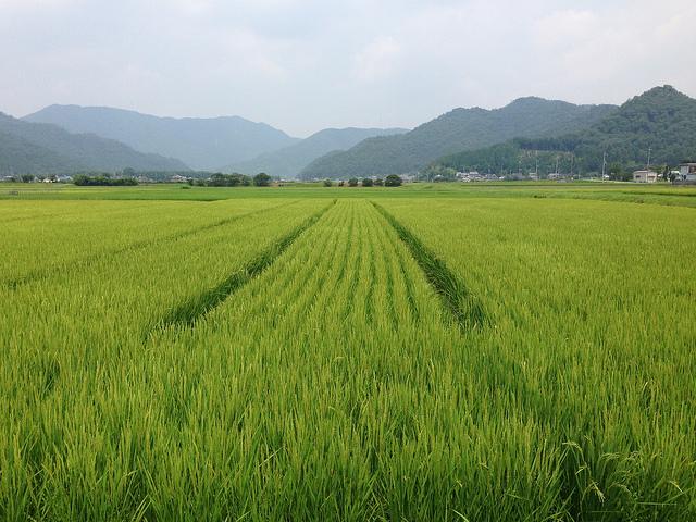 compagne rizières2